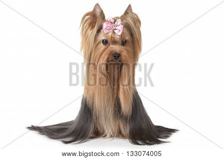 Two years old Yorkshire terrier dog isolated on white background