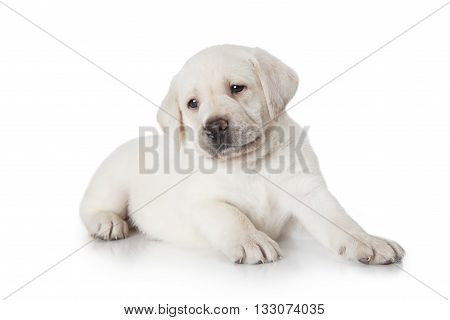 Six weeks old purebred Labrador puppy dog isolated on white background
