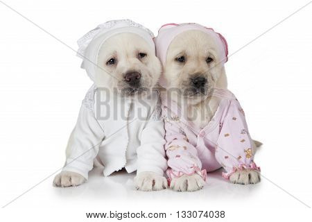 Portrait of two six weeks old purebred Labrador puppies dressed in pajamas isolated on white background