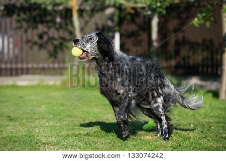 happy english setter dog plays outdoors in summer