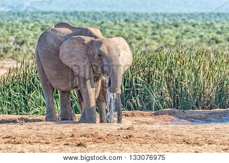 Two young African Elephants Loxodonta africana drinking water