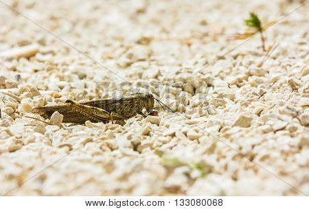European locust eating a seed among limestone pebbles