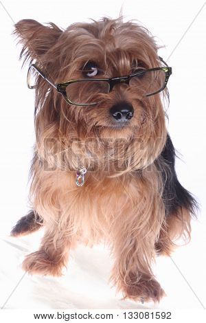 a yorkshire terrier with glasses on the eyes