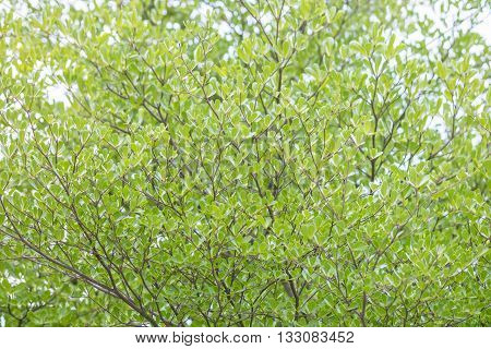 Closeup surface green leaves on tree textured background