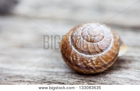 snail shell close up on wooded plank