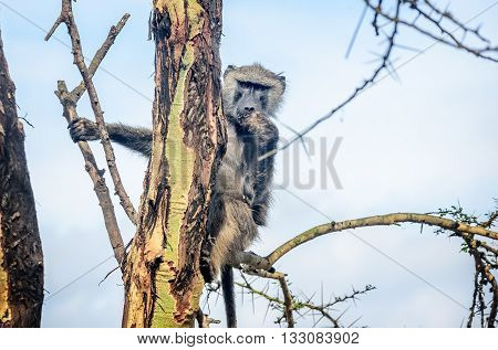 Olive Baboon monkey sitting on the tree in Kenya Africa
