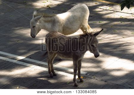 Two donkeys standing in the middle of the road in an Indian city.