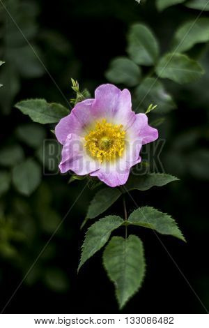 pink flower of a dogrose on a green bush