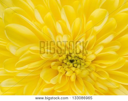 center yellow fragrant flower dahlia with beautiful delicate fragile petals