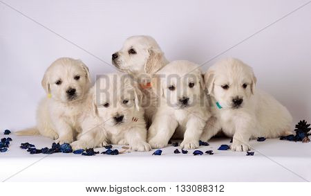 group of cute young labrador puppies. studio portrait