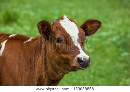 Young cow grazing on a green meadow . It chews the grass close-up . Green background.