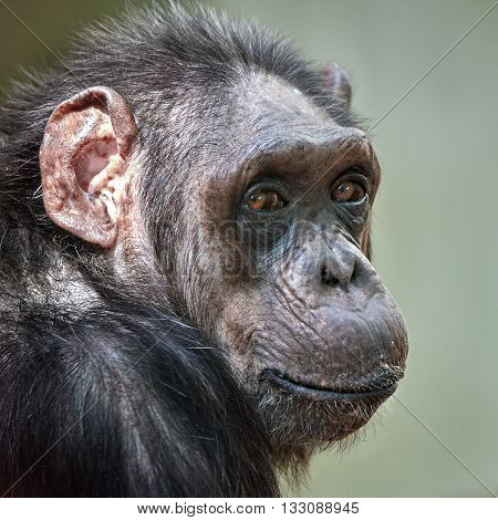 Closeup portrait of a Common Chimpanzee (Pan troglodytes) with eye contact
