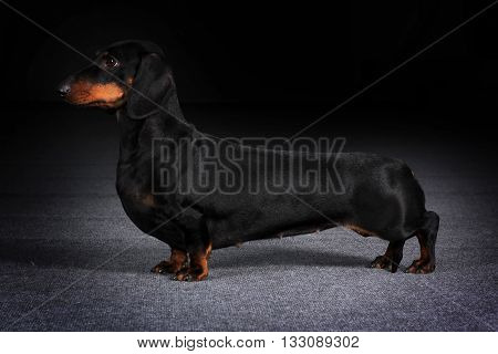 Dog German Dachshund is to show the position on a black background in Studio