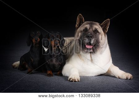 A group of three dogs - two little dachshunds and a large Akita inu