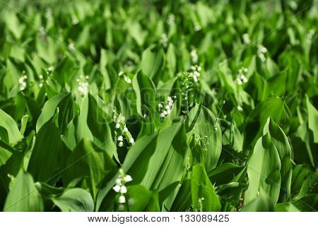Lily-of-the-valley flowers, closeup