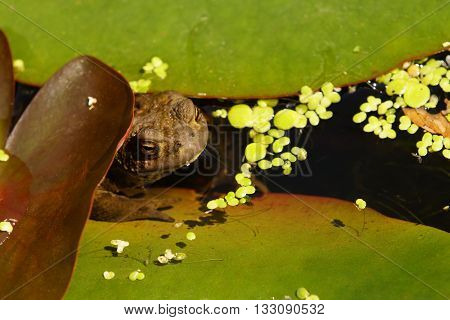 Big toad under a water lily in summer