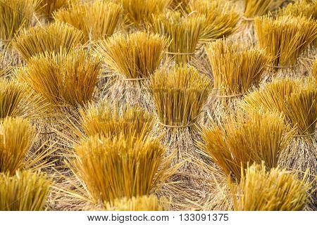 Rice sheaves after harvest on the field