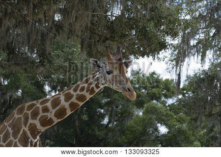 Giraffe at Giraffe Ranch in Dade City, Florida.
