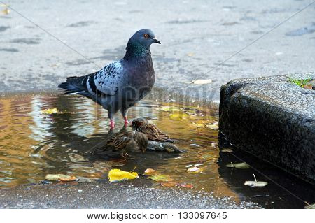 City birds bathe in a puddle in the autumn. The relationship between Pigeons and sparrows. Bird washing exercise on a hot day. Yellow leaves in the water.