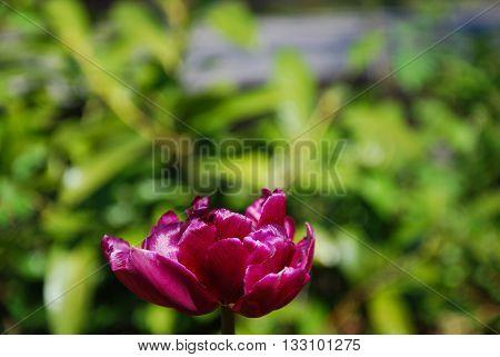 Single sunlit purple tulip closeup in a flowerbed