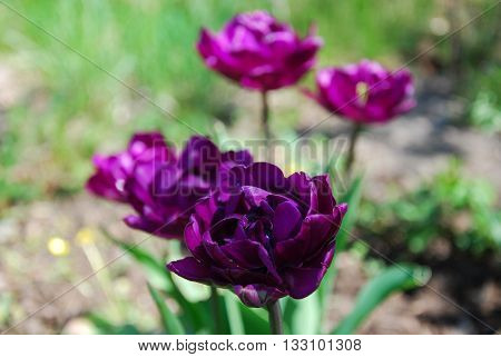 Flowerbed with beautiful sunlit purple tulips closeup