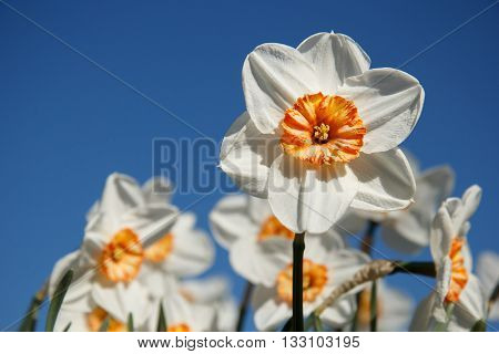 White and orange daffodils on sky blue background