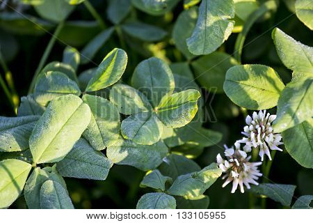 Four leaved clover in natural environment, Russia