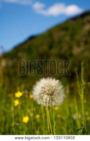 Common Dandelion (taraxacum Sect. Ruderalia)