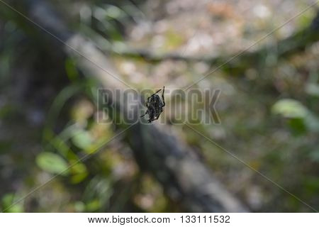 Spider sitting on a woven web in a summer forest
