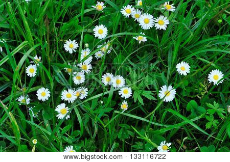 Meadow plants. Daisy (lat Béllis.) - Genus of perennial plants of the family Asteraceae.