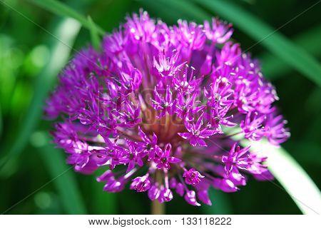 Purple allium flower in macro in garden