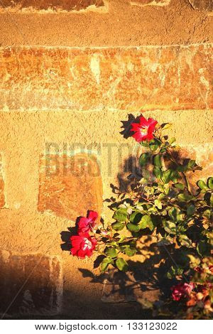 Red flowers are standing against wall during sunset.
