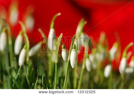 little snowdrops