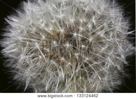Dandelion Blow Ball Close Up