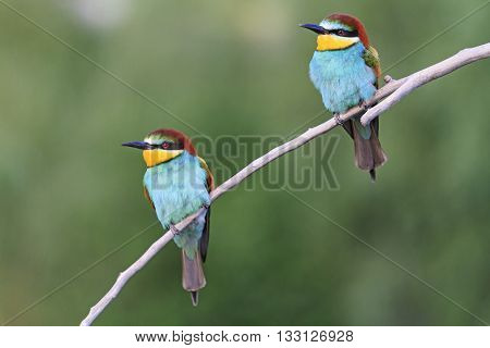 A couple of birds sitting on a sloping branch image for advertising, The European bee eaters