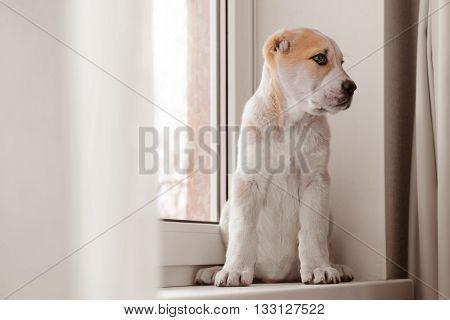 Central Asian Shepherd puppy sitting on the windowsill