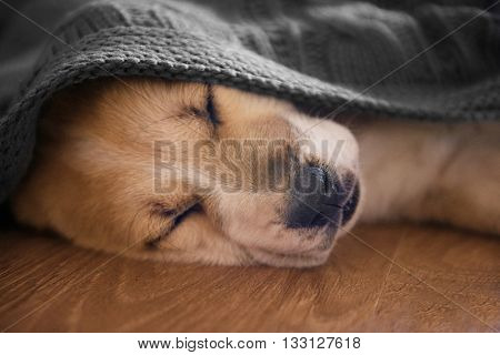 Central Asian Shepherd puppy sleeping on the floor covered with blanket