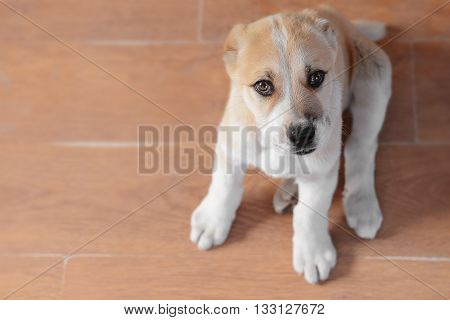 Central Asian Shepherd puppy sitting on the floor