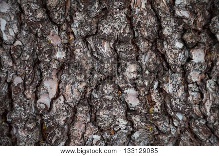 Pine bark texture. Pine bark background. Pine bark texture. Tree bark background. Bark background. Bark texture. Tree bark texture