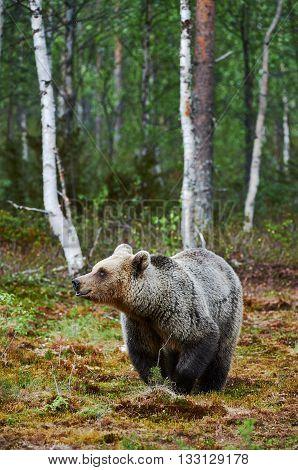 Female brown bear walking in a finnish forest in summer