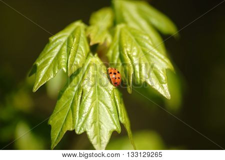 The close-up of a ladybug on the fresh bright green leaves of a green plant.