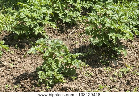 Plant propagation seedlings of potatoes in home vegetable garden