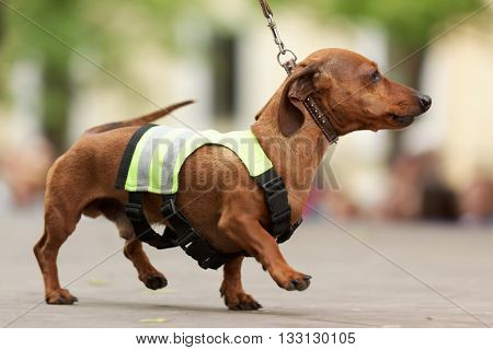 ST. PETERSBURG, RUSSIA - MAY 28, 2016: Dog in costume of traffic warden during Dachshund parade. The traditional festival is timed to the City day