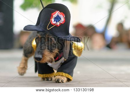 ST. PETERSBURG, RUSSIA - MAY 28, 2016: Dog in costume of Napoleon during Dachshund parade. The traditional festival is timed to the City day