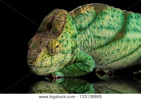 Parson Chameleon, Calumma Parsoni Orange Eye Rest on Mirror Isolated on Black Background