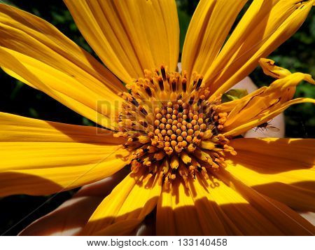 Sunray Yellow Tithonia Diversifolia, Park Botanical Garden, Merida, Venezuela