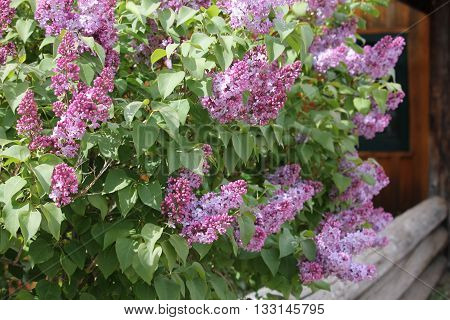 Lilacs by the doors with their perfume aroma