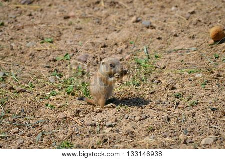 A young prairie dog on the ground
