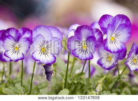 Beautiful mini violet flower in the garden