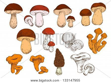 Vegetarian edible brown cap boletus and cep, white champignons and orange chanterelles, birch and pine boletes, porcini, honey agarics and black morel mushrooms sketch icons. Healthy eating design